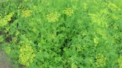Flowering dill Stock Footage