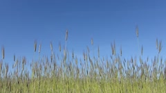 Slow motion grains of wheat on wind Stock Footage