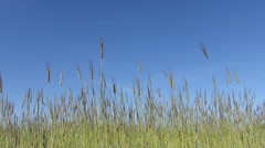 Grains of wheat on wind Stock Footage