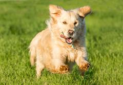 Golden Retriever Running - stock photo
