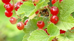 Stock Video Footage of Close up of a currant