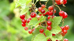 Close up of a currant - stock footage