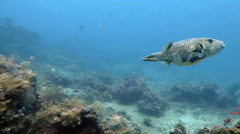 Boxfish  floating in the depths of the ocean near the island of Bali. Stock Footage