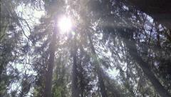 Sun light filters through trees in dense forest. UHD 4K steadycam stock foota Stock Footage