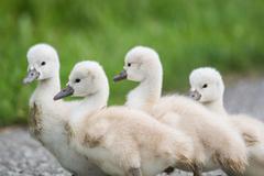 Four Mute Swan cygnets walkin on a path. Stock Photos
