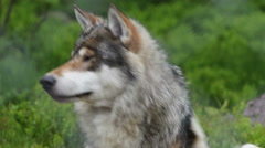 Wolf in a Swedish zoo - stock footage