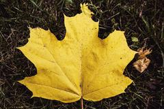 Yellow maple leaves - stock photo