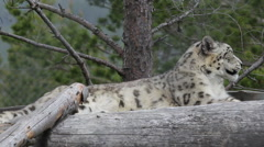 Lying snow leopard in a Swedish zoo Stock Footage