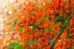 Flamboyant or Delonix Regia and blurred lights background Stock Photos