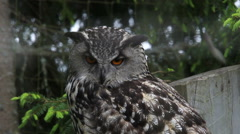 Eurasian eagle-owl in a Swedish zoo Stock Footage