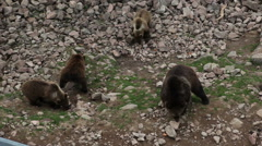 Bear cubs looking for food in a zoo in Orsa, Sweden Stock Footage