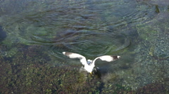 Big Springs Island Park Idaho Seagulls 4K 004 - stock footage