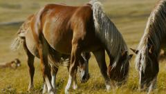 Brown horses grazing grass in pasture Stock Footage