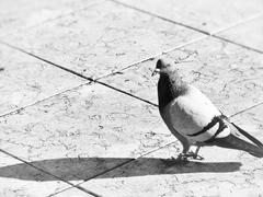 Pigeon in B&W Stock Photos