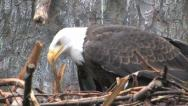 Stock Video Footage of Bald Eagle in nest