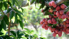 Ripe lychees fruit on tree, Asia fruit of Chiang Mai in Thailand. Stock Footage