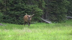 Wildlife Bull Elk antlers meadow Yellowstone 4K Stock Footage