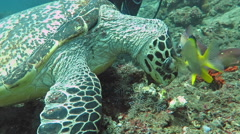 Hawksbill  sea turtle   current on coral reef  island, Bali. Stock Footage