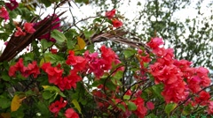 Bougainvillea Close-Up (Red) Stock Footage