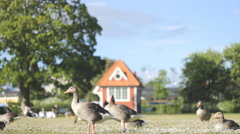 Mallard Ducks and Goose on the grassfield park 01 Stock Footage
