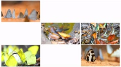 Includes butterfly in many sizes and varieties. Stock Footage