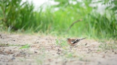 Male common chaffinch forages on the ground and flies away Stock Footage
