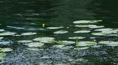 Yellow water-lily flowers and leaves floating on water surface Stock Footage