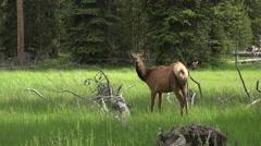 Wildlife female cow meadow Yellowstone 4K Stock Footage
