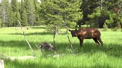Wildlife female Cow Elk meadow tourists Yellowstone 4K Stock Footage