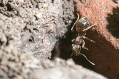 Brown ant - stock photo
