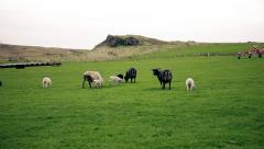 Sheep and young lambs grazing in a field Stock Footage