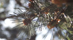 Pine Needles With Bokeh Stock Footage