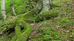 Steadicam Shot mountain wet Forest with mossy stones and tree roots Stock Footage