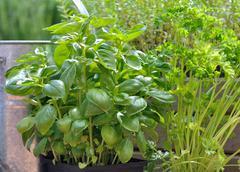 Aromatic plants Stock Photos