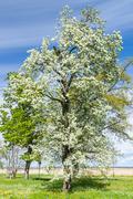 Lush blooming tree under blue sky Stock Photos
