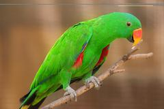 Beautiful Chattering Lory Lorius on a branch - stock photo