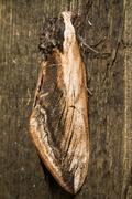Hawk Moth on wood background close up Stock Photos