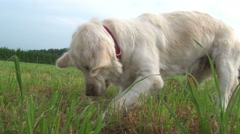 Golden Retriever digging in the meadow - stock footage