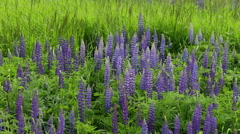 Blue Lupin Flowers in the Meadow Stock Footage