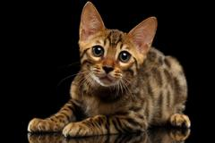 Lying Bengal Kitty and Looking in Camera on Black - stock photo