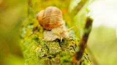 Big grape snail on the mossy tree Stock Photos