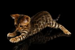 Crouching Bengal Kitty on Black Stock Photos