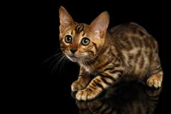 Crouching Bengal Kitty on Black Stock Photos