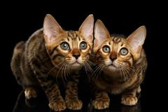 Two Bengal Kitty Looking in Camera on Black Stock Photos