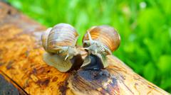 Horny grape snails are getting on their hind legs - stock photo