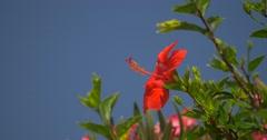4K, Amaryllis Flower in Calvi, Corsica Stock Footage