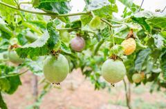 Passion fruit (passiflora edulis), selective focus. Stock Photos