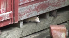 Stock Video Footage of Rats under shed 02