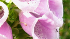 The flower of a foxglove Stock Footage