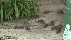 Rats in garden 01 - stock footage